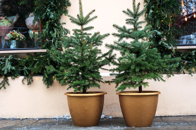 Two Christmas trees planted in pots