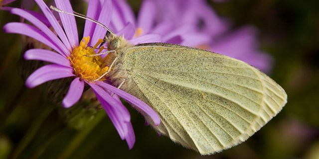 cabbage white butterfly at one of our solar farms